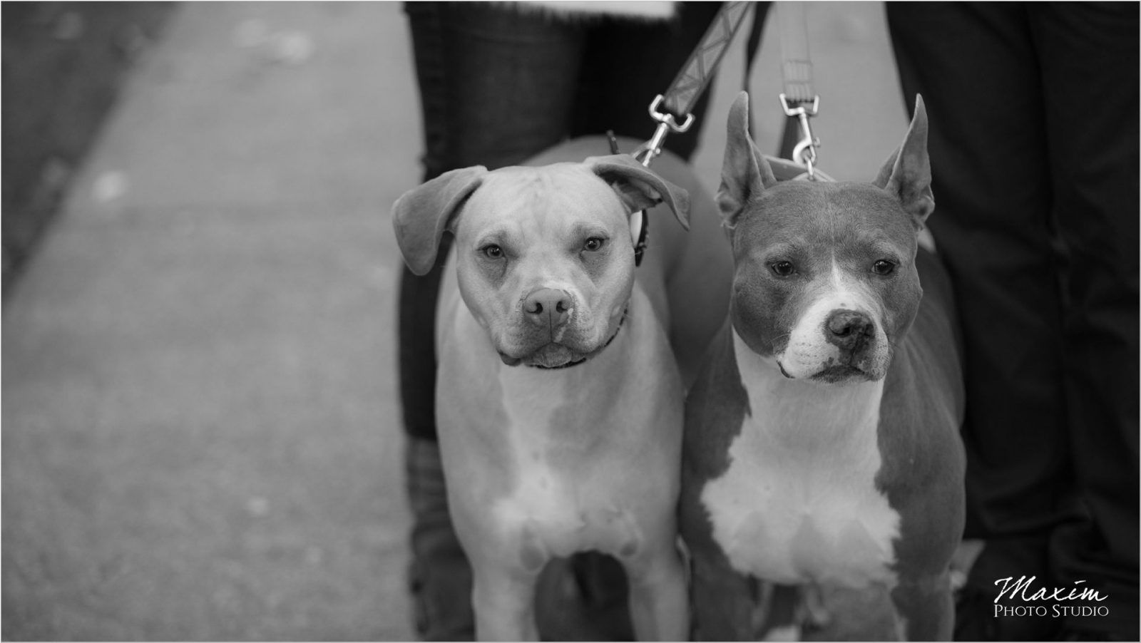 Washington Park Cincinnati pitbulls engagement